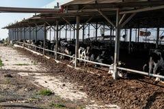 Koeien in de koeiestal Royalty-vrije Stock Fotografie