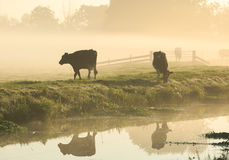 Koeien in de mist stock foto