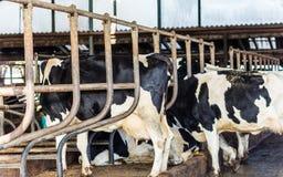 Koeien in de schuur Royalty-vrije Stock Afbeeldingen