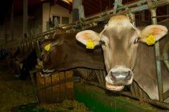 Koeien in de stal Royalty-vrije Stock Afbeeldingen