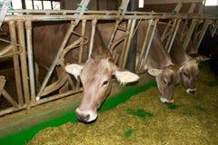 Koeien in de stal Royalty-vrije Stock Foto