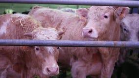 Koeien in de vouwen op het landbouwbedrijf stock videobeelden
