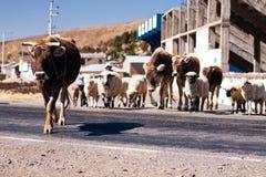 Koeien in de weg op een zonneschijndag Stock Fotografie