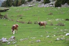 Koeien in de weide Royalty-vrije Stock Fotografie