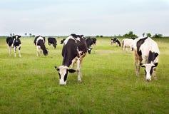 Koeien in de weide Royalty-vrije Stock Foto