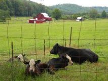 Koeien in de weide Stock Afbeeldingen