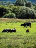 Koeien in de weide Stock Afbeelding