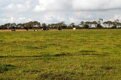 Koeien in de weiden stock foto's