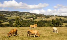 Koeien in de weiden royalty-vrije stock fotografie