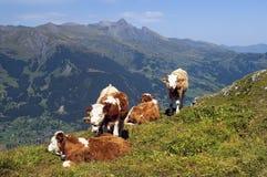 Koeien die in alpiene weiden weiden Stock Afbeelding