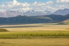 Koeien die in bergen weiden Stock Fotografie