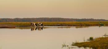 Koeien die bij Biebrza-Rivier, Oostelijk Polen drinken royalty-vrije stock fotografie