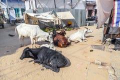 Koeien die bij de straat rusten Royalty-vrije Stock Foto