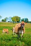 Koeien die bij een organisch landbouwbedrijf weiden Royalty-vrije Stock Foto