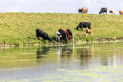 Koeien die bij een rivier drinken Stock Fotografie