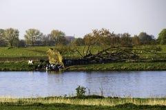 Koeien die bij een waterpool drinken Stock Afbeelding