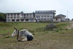 Koeien die bij het Tengboche-klooster, Everest-trek van het Basiskamp, Nepal rusten royalty-vrije stock afbeeldingen