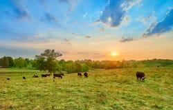 Koeien die bij zonsondergang weiden royalty-vrije stock foto