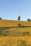 Koeien die in Chili weiden Royalty-vrije Stock Afbeeldingen