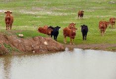 Het stellen van koeien Stock Afbeeldingen