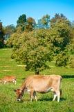 Koeien die in de weide weiden Stock Afbeeldingen