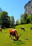 Koeien die in de Zwitserse Alpen weiden Royalty-vrije Stock Foto's