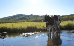 Koeien die door de rivier lopen Stock Afbeeldingen