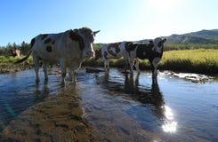 Koeien die door de rivier lopen Stock Fotografie