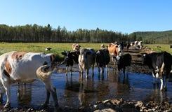 Koeien die door de rivier lopen Royalty-vrije Stock Fotografie