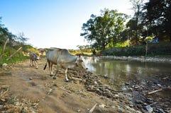 Koeien die door de rivier lopen Stock Foto