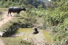 Koeien die een bad nemen Stock Foto's
