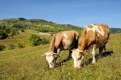 Koeien die in een de zomerlandschap weiden Royalty-vrije Stock Afbeeldingen