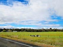 Koeien die in een landbouwbedrijf naast de weg rusten Stock Foto