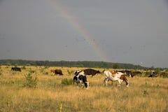 Koeien die in een Weide weiden Royalty-vrije Stock Foto