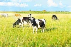 Koeien die in een weide weiden. De zonnige dag van de zomer Stock Foto
