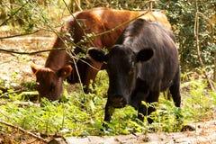 Koeien die in Engels bos tijdens de lente weiden Royalty-vrije Stock Fotografie