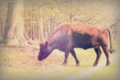 Koeien die in Engels bos tijdens de lente weiden Royalty-vrije Stock Afbeelding