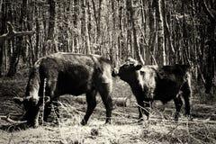 Koeien die in Engels bos tijdens de lente weiden Stock Fotografie