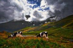 Koeien die gras eten Stock Foto's