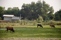 Koeien die gras in tuin eten Stock Foto
