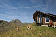 Koeien die, Grindelwald eerst weiden Stock Afbeelding
