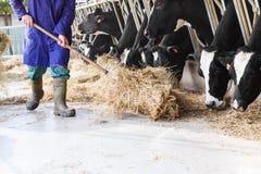 Koeien die in grote koeiestal hooi met landbouwer en hooibalen eten Stock Afbeeldingen