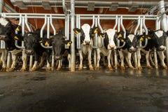 Koeien die in grote koeiestal voeden Stock Afbeelding