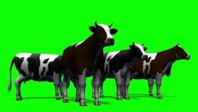 Koeien die - het groene scherm weiden stock videobeelden