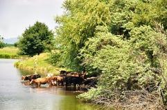 Koeien die in het meer zwemmen Stock Foto