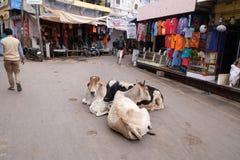 Koeien die in het midden van de straat in Pushkar, India rusten stock afbeelding
