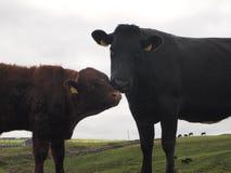 Koeien die in heuvels van Ierland 2 weiden Stock Afbeeldingen