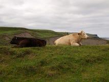 Koeien die in heuvels van Ierland weiden Stock Foto's