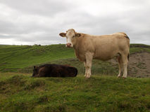 Koeien die in heuvels van Ierland weiden Royalty-vrije Stock Foto