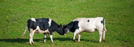 Koeien die hoofden uitsteken Royalty-vrije Stock Foto's